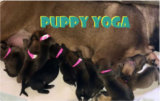 Puppy Yoga with Painted Lady Fitness - Cane Corso Mastiffs